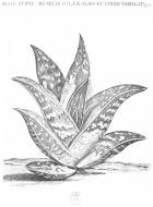herbier aloe