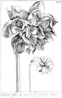 herbier-narcisse